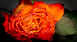 Erotic Rose